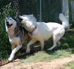 Huskies romping picture Picture