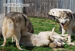Wolf pictures, Wolf parts Picture