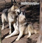 Pregnant Wolf strains to get up Picture