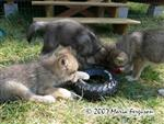 Wolf Pup likes his big tire picture Picture