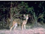 Red Wolf Picture
