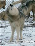 Wolf shaking off snow picture Picture
