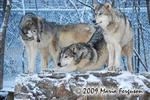 Wolf pictures, Wolves in Winter Picture