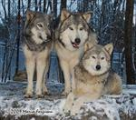 Wolf pictures, winter morning Picture