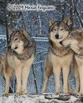 Wolf pictures, Pack in Snow Picture
