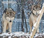 Wolf pictures, handsome Wolves Picture
