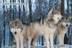 Wolf pictures, sentinels Picture