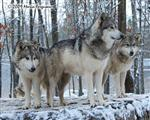 Wolf pictures, the lookouts Picture
