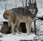 Wolf pictures, snow day Picture