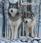 Wolf pictures, standing guard Picture