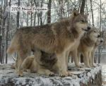 Wolf pictures, surveying Picture