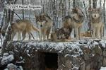 Wolf pictures, Wolves on den Picture