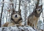 Wolf pictures, cold winter day Picture