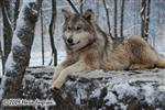 Wolf pictures, Woha in snow Picture
