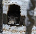 Wolf pictures, asleep Picture