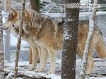 Wolf Pictures, The Alphas Picture