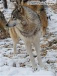 Wolf pictures, beautiful girl Picture