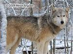 Wolf pictures, snowy Picture