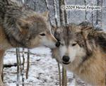 Wolf pictures, eye kisses Picture