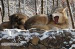 Wolf pictures, boring Picture