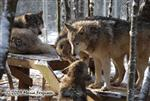 Wolf pictures, meeting place Picture