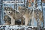 Wolf pictures, dawn Picture