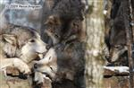 Wolf pictures, Wolf pile Picture