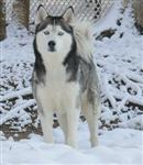 Handsome male Siberian Husky in snow picture Picture