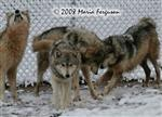 Wolves playing in snow picture Picture