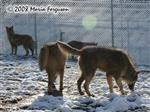 Wolf pack in the snow picture Picture