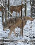 Wolf, Mom and Son in snow picture Picture