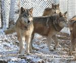 Wolves in snow photo Picture