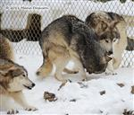 Wolf pictures, The Pack Snow Day VII Picture