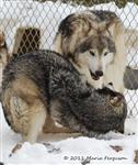 Wolf pictures, The Pack Snow Day VIII Picture
