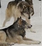 Wolf pictures, The Pack Snow Day XXV Picture