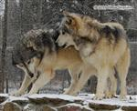 Wolf pictures, rivals Picture