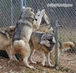 Wolf pictures, fence fighting III Picture