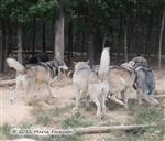 Wolf pictures, tail position Picture