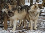 Wolf pictures, togetherness Picture