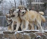 Wolf picture, big sloppy Wolf kisses Picture