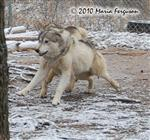 Wolf pictures, paws to the ground Picture