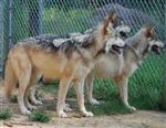 Wolf pictures, pup pack Picture