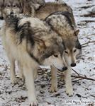 Wolf pictures, mutual admiration Picture