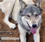 Timber Wolf Ohoyo Picture