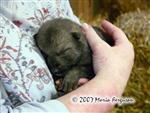Cuddling a Wolf pup picture Picture