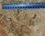 Wolf pictures, Our Wolves Tracks III Picture
