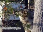 Female Wolf and Christmas Tree photo Picture