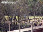 Wild Turkeys on a Bridge Picture