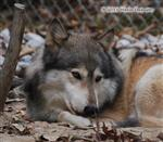 Wolf pictures, inviting Picture