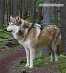 Wolf pictures, in the forest Picture